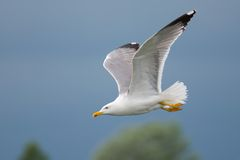 Gull flying Royalty Free Stock Photo