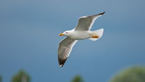 Gull flying Royalty Free Stock Image