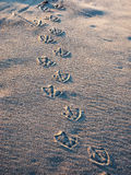 Gull foot prints in sand Royalty Free Stock Photography