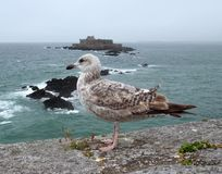 Gull and Fort National Royalty Free Stock Images