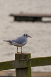 Gull. A full perched on top of a fence post with a jetty in the background stock images