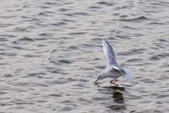 Gull. A full swooping down for a drink or catching a fly from the water royalty free stock photography