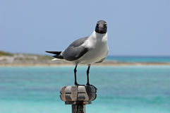 Gull Gazing. A sea gull, sits on a wood post in the Caribbean looking for his next meal royalty free stock photography