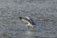 Gull gets ready to land on water. stock photography