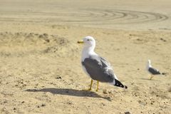 Gull on the Grand Canaria Royalty Free Stock Image