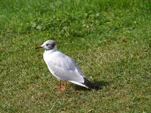 A gull on the grass Stock Photos