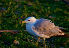 The gull on the grass Royalty Free Stock Images