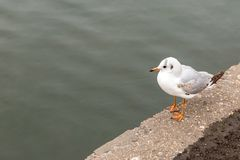 Gull gray gray river on color waterfront city looking at water river close-up portrait of wild birds royalty free stock photo