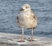 Gull on a gray wall Stock Image