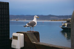 Gull on Guard Stock Photos