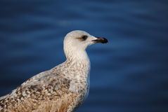 Gull head in blue Stock Photo