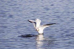 Gull diving with head in the lake. Gull diving and fishing in a lake in winter Royalty Free Stock Images