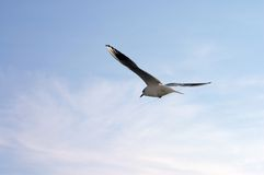 Gull is headed to a new horizon - blue sky background Stock Photo