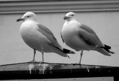Gull 2 Royalty Free Stock Photo