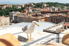 Gull on the historical center of old city. Seagull stands over the roofs of Roma. Stock Photography