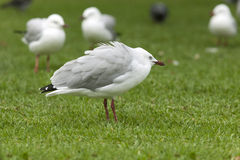 Gull is huddling up Royalty Free Stock Images