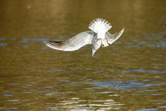 Gull. Hunting on the lake Royalty Free Stock Photo