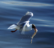 Gull - Hunting for life Stock Images
