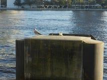 Gull i glaucesens scientifici alati glauchi di larus di nome del gabbiano di nome comune fotografia stock