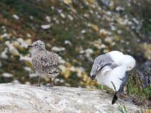 Gull i pulcini sulle isole di Cies nell'Atlantico, Spagna fotografia stock
