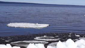 Gull on ice floe stock video footage