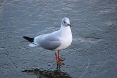 Gull On Ice Royalty Free Stock Image