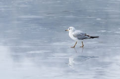 Gull on ice. Gull walking on ice in winter Stock Photo