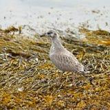 Gull il pulcino (larus) sulla riva fotografia stock