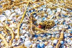 Gull il pulcino nel nido, la fauna selvatica, fondo della natura immagine stock libera da diritti