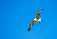 Gull il volo nel cielo blu, fondo di Cormorant della natura fotografia stock