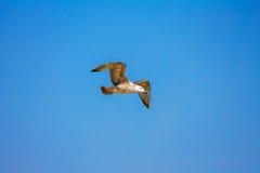Gull il volo nel cielo blu, fondo di Cormorant della natura fotografie stock libere da diritti