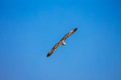 Gull il volo nel cielo blu, fondo di Cormorant della natura immagine stock