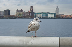 Gull on iron railing Royalty Free Stock Images