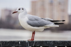 Gull on iron railing on river in cloudy day and cityscape background Royalty Free Stock Image