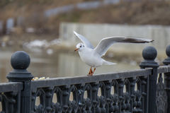 Gull on iron railing on river in cloudy day and cityscape background. Bird eating bread Royalty Free Stock Image