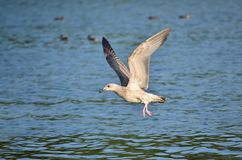 Gull. In its natural habitat. Fauna of Ukraine royalty free stock image