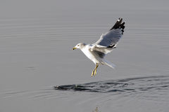 Gull just above water. Stock Image