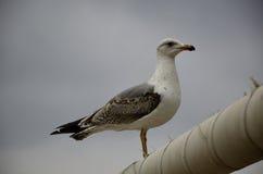 Gull l'attesa sul palo dell'illuminazione immagine stock libera da diritti