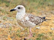 Gull l'uccello che sta sulla natura selvaggia del primo piano all'aperto dell'erba fotografia stock