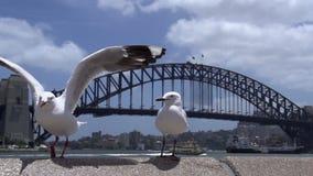 Gull la llegada en la cámara lenta con el puente del puerto el fondo almacen de video
