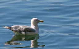 Gull on Lake. Seagull floating on inland lake Royalty Free Stock Images