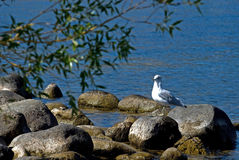 Seagull bird on rocks. With brilliant blue water in background Royalty Free Stock Photo