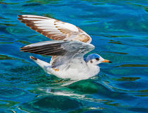 Gull on Lake Geneva Stock Photography