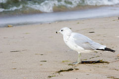 Gull beside Lake Michigan Royalty Free Stock Images