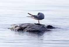 Gull on the lake in nature Stock Images