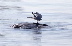 Gull on the lake in nature Stock Photography
