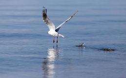 Gull on the lake in nature Royalty Free Stock Photography