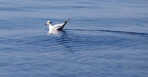 Gull on the lake in nature Royalty Free Stock Images