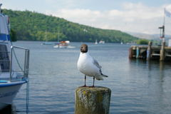 Gull at the lakeside of Windermere at Bowness-on-Windermere Royalty Free Stock Photos