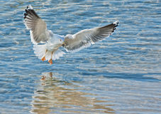 Gull landing in blue sea Stock Photo